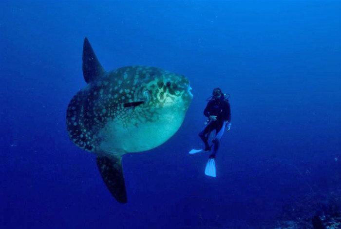 Diving Bersama Ikan Mola-Mola