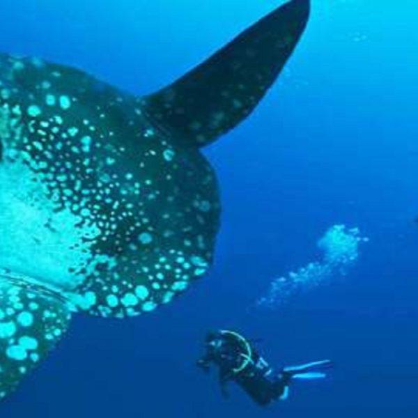 Menyelam Bersama Ikan Mola-Mola