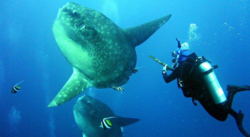 Menyelam Bersama Ikan Mola-Mola,